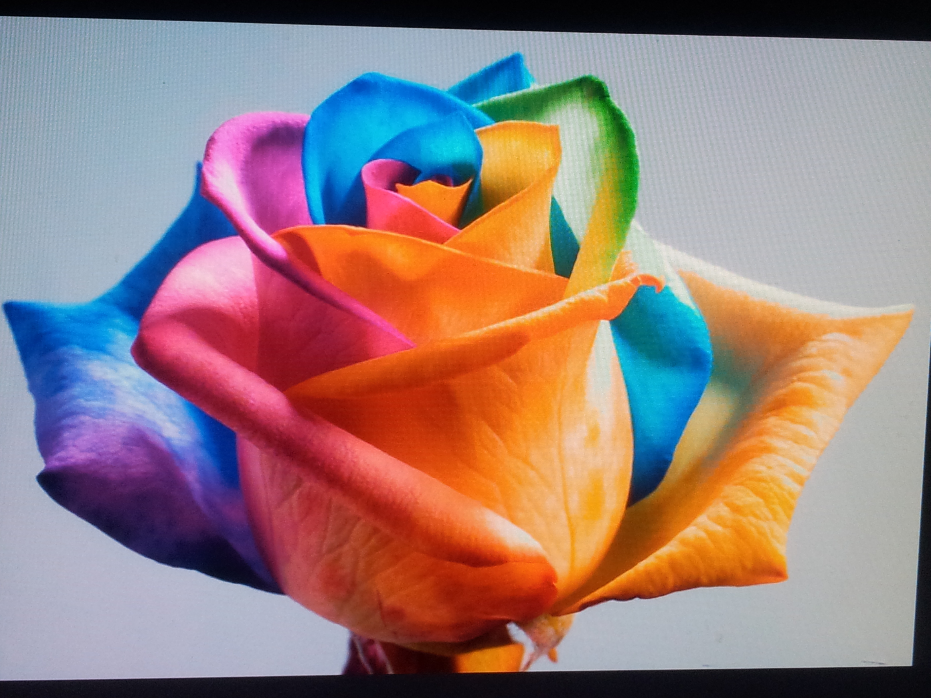 Роза радуга фото 2