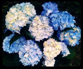nature flower summer hydrangea blue